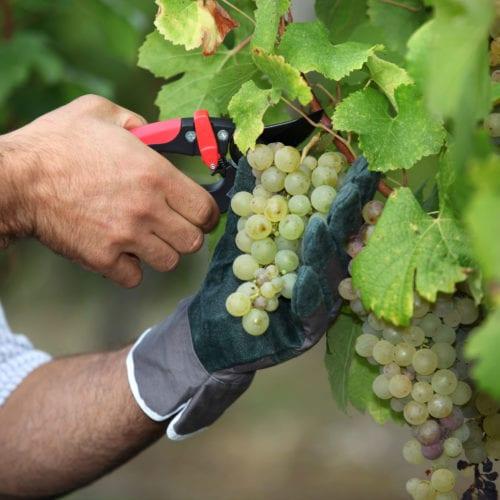 grapes de raisins