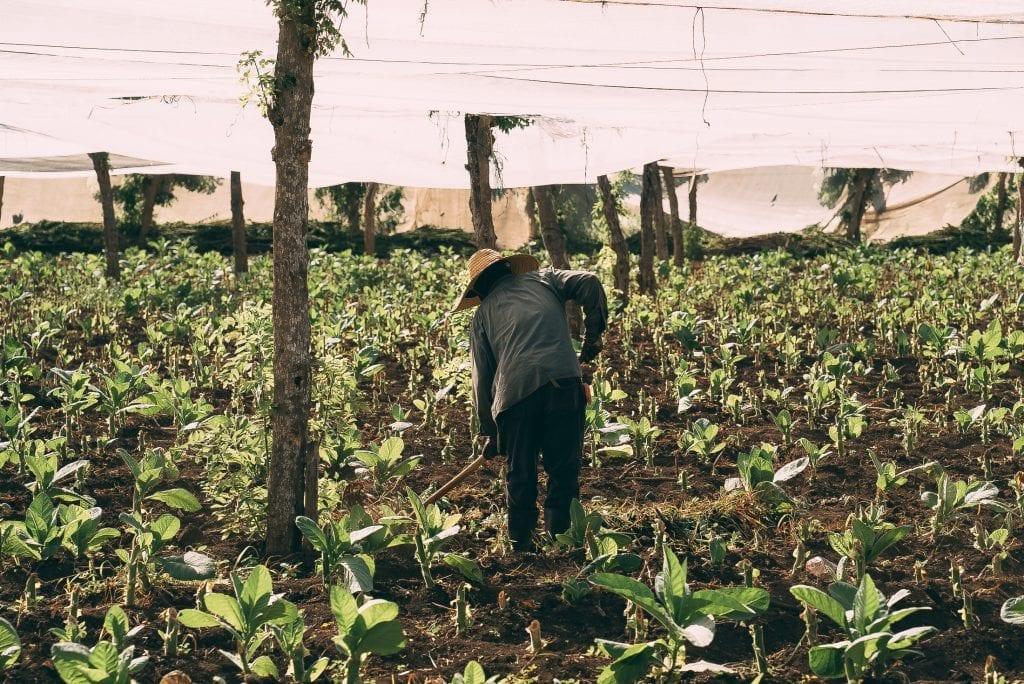De la plantation à la récolte, la culture du tabac dure environ 5 mois. ©Stanislas Lucien pour Procigar